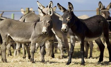 Punjab sets up first donkey form as KP fails to sign MoU with China