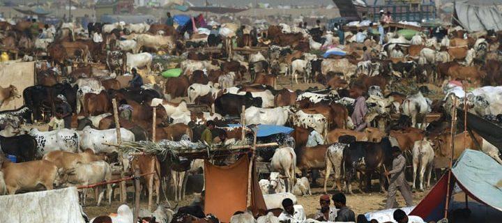 sacrificial animals market