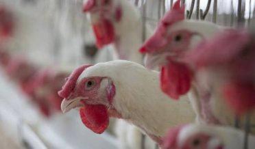 Chickens in Upper dir