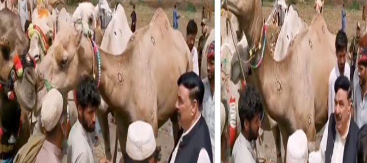 SheikhRashid bought three camels for sacrifice
